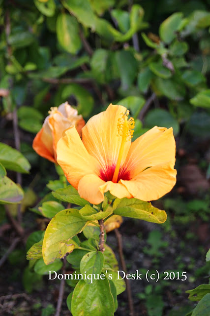 Yellow Orange Hibiscus