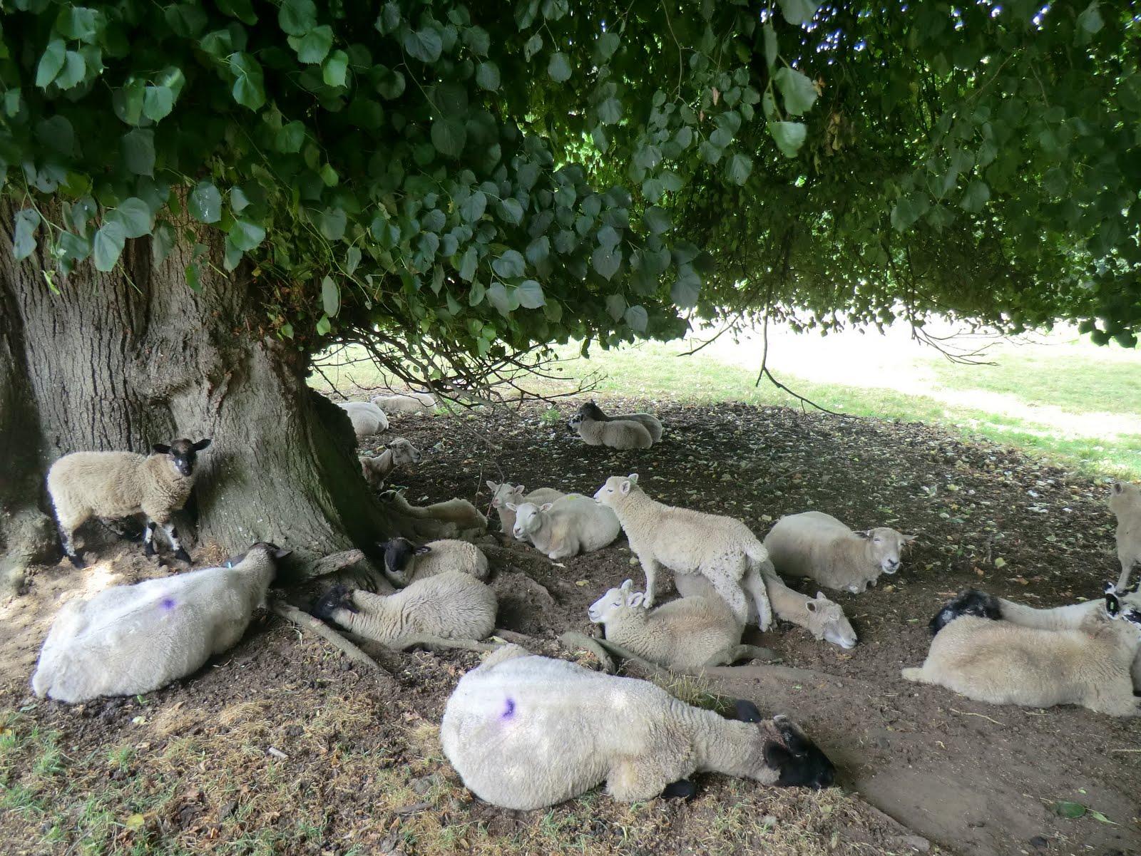 CIMG8275 Dozy sheep, Albury Park