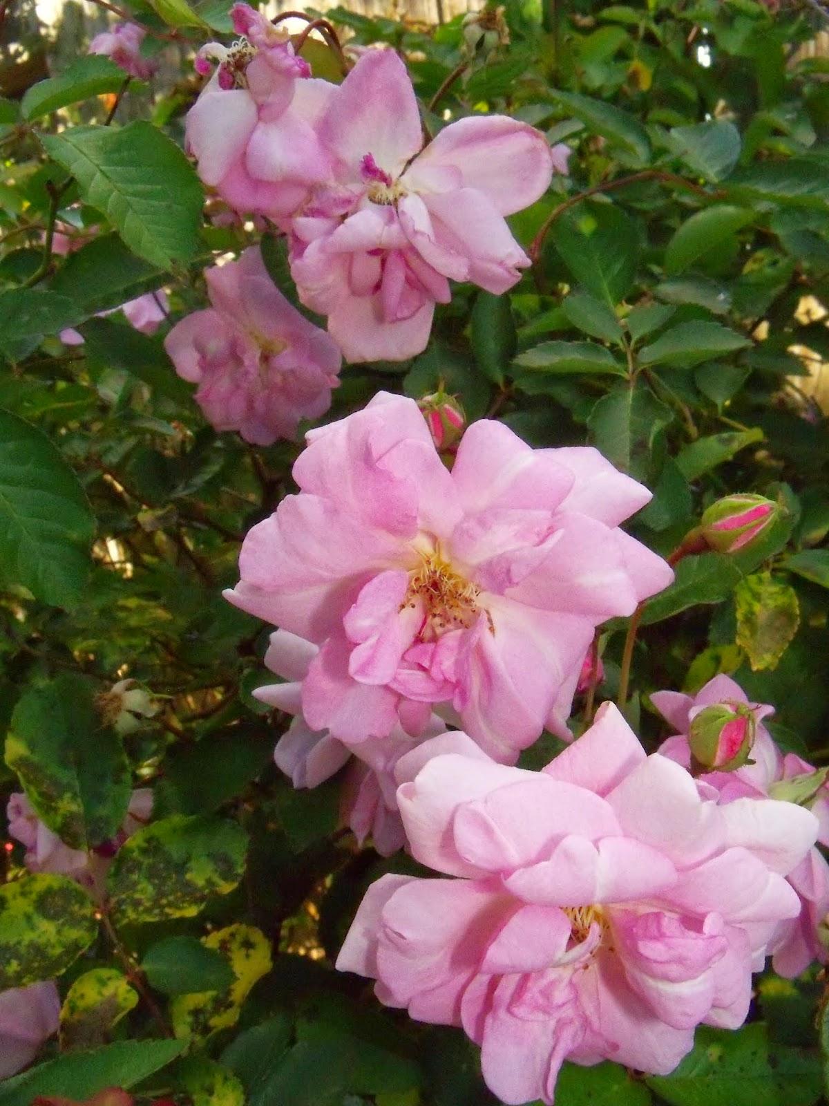 Gardening 2015 - 116_7646.JPG
