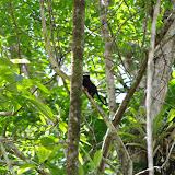 Tamarin à pattes jaunes : Saguinus midas (L., 1758). Pointe Maripa (Riv. Comté), 10 novembre 2012. Photo : J.-M. Gayman