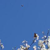 Deux Polygonia c-album L., 1758. Les Hautes-Lisières (Rouvres, 28), 15 mars 2012. Photo : J.-M. Gayman