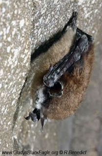 This bat has white-nose fungus.