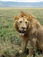 Favorite lion photo - Ngorongoro Crater