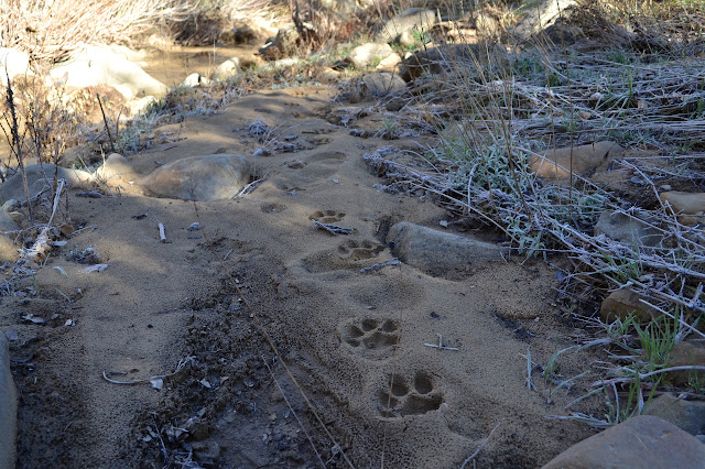 mountain lion prints
