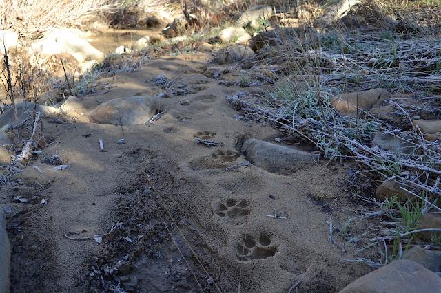 mountain lion prints