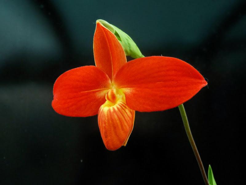 Phragmipedium besseae Besseae3