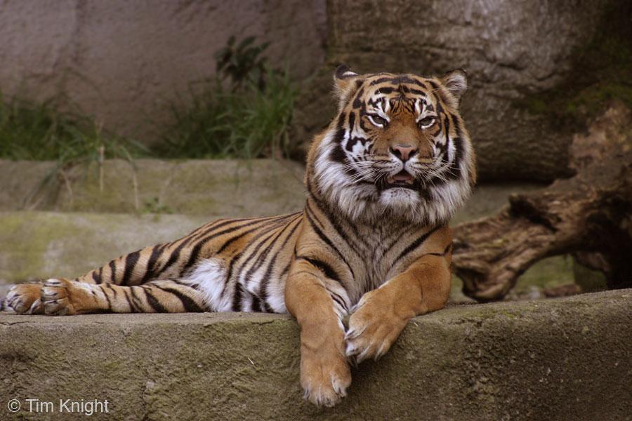 Sumatran Tiger...