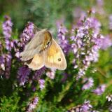 Maniola jurtina (L., 1758), femelle. Paulhac-en-Margeride, 1230 m (Lozère), 19 août 2013. Photo : J.-M. Gayman