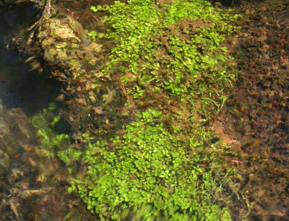Микрантемум монтекарло (Micranthemum sp. montecarlo-3)
