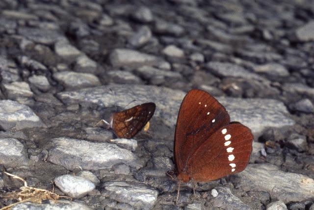 Satyrini : Pronophilina : Lymanopoda albocincta ssp. Vallée de Kosñipata, nov. 2009. Photo : B. H. Purser http://sangay.eu/ficha-principale.php?ref=637⟨=es
