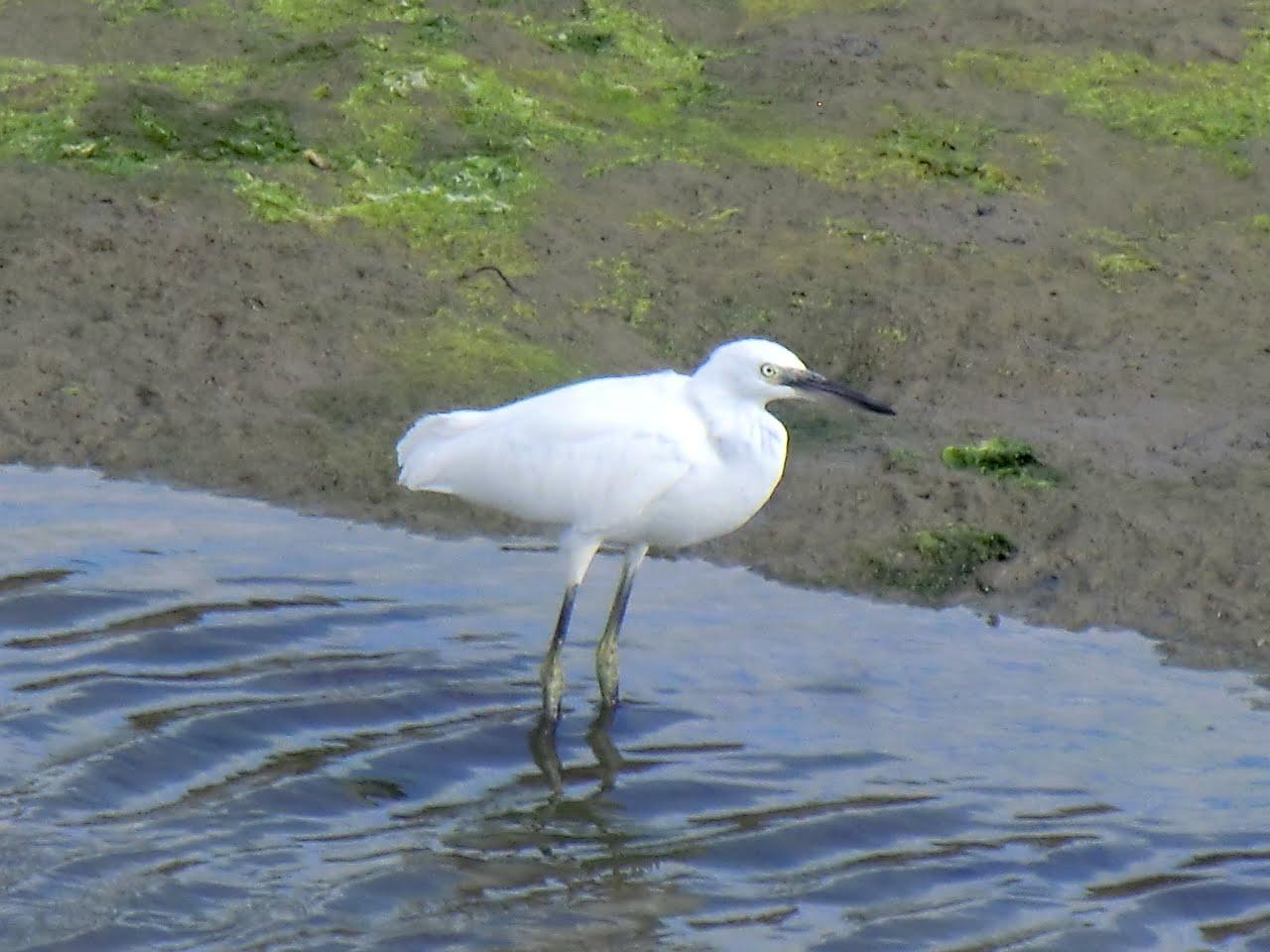 CIMG4477 Little Egret in Moses Dock