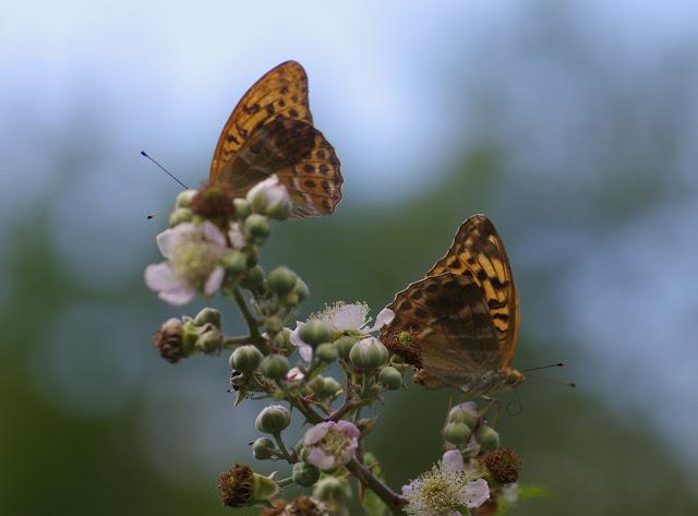 Argynnis paphia (L., 1758), sur ronce. Chemin de La Rodé, 680 m, Cocurès (Lozère), 8 août 2013. Photo : J.-M. Gayman