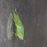 Tettigoniidae. Tunda Loma à Calderon (Esmeraldas), 7 décembre 2013. Photo : J.-M. Gayman