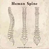 15-human spine