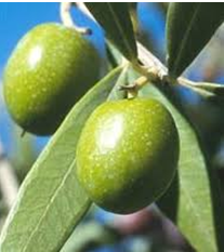 [olive%2520leaf%2520extract]