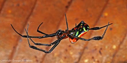 Photo: Spider. Halmahera Island, Indonesia.