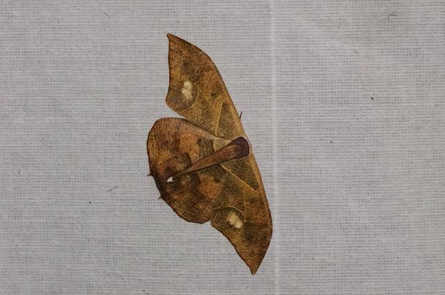 Uraniidae : Epipleminae : Syngria druidaria Guenée, 1852. Mount Totumas, 1900 m (Chiriquí, Panamá), 21 octobre 2014. Photo : J.-M. Gayman