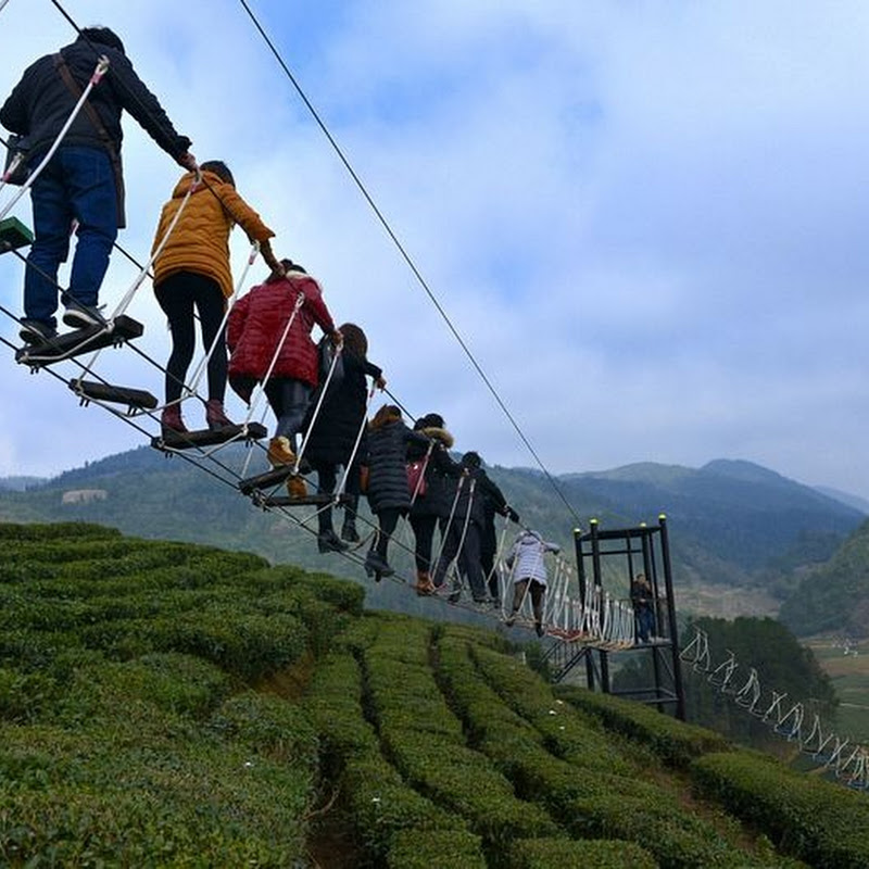 A Daredevil Aerial Walkway Over a Tea Park in China