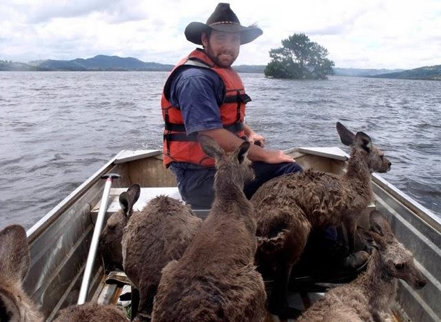 Les inondations au Queensland : sauvetage de kangourous