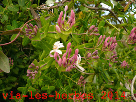 Chevrefeuille Lonicera implexa.jpg
