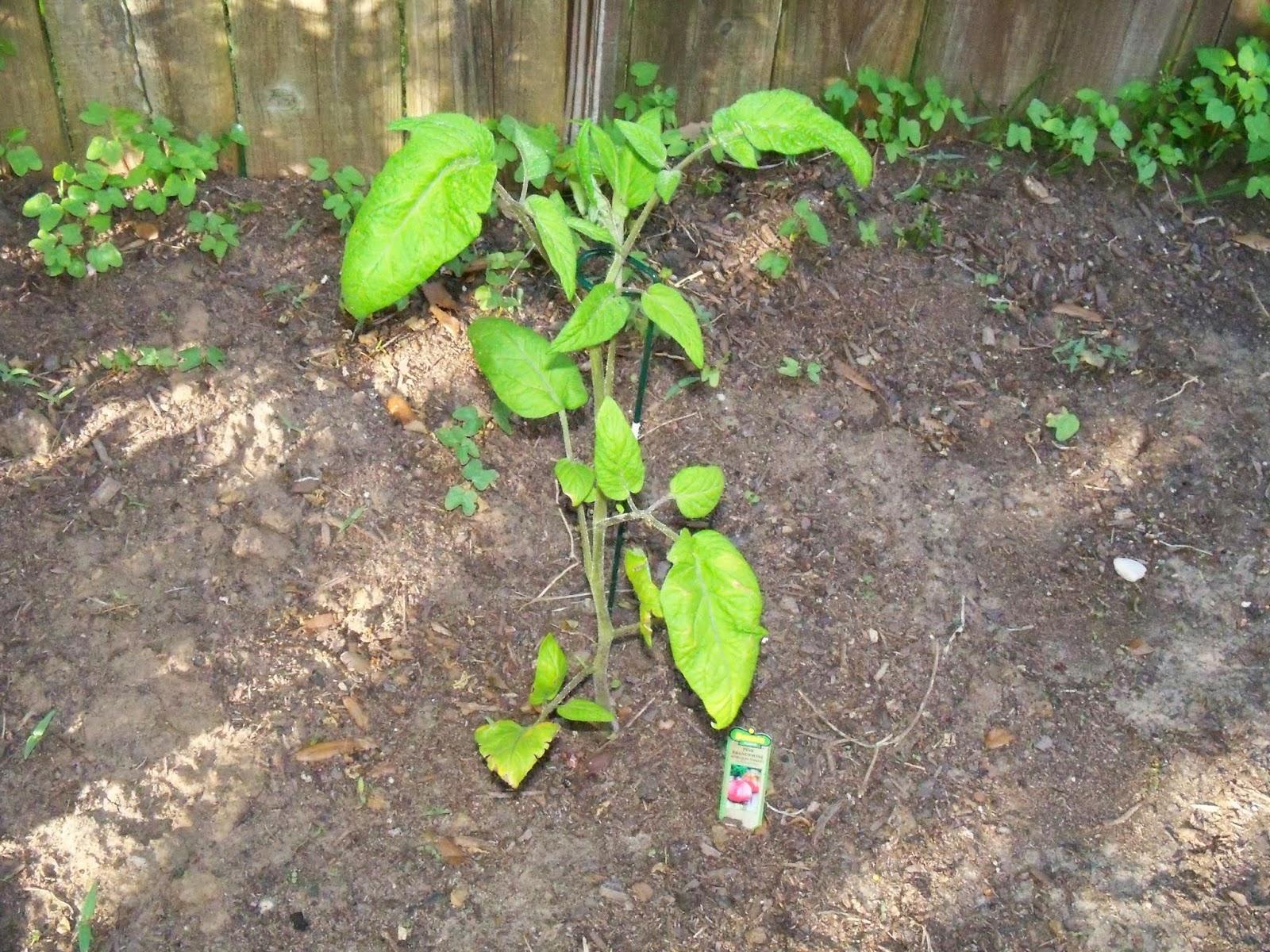 Gardening 2015 - 116_7656.JPG