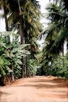 Tapovan Driveway paved with Coconut & Banana Palms