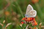Hvidrandet blåfugl, dorylas på rundbælg2.jpg