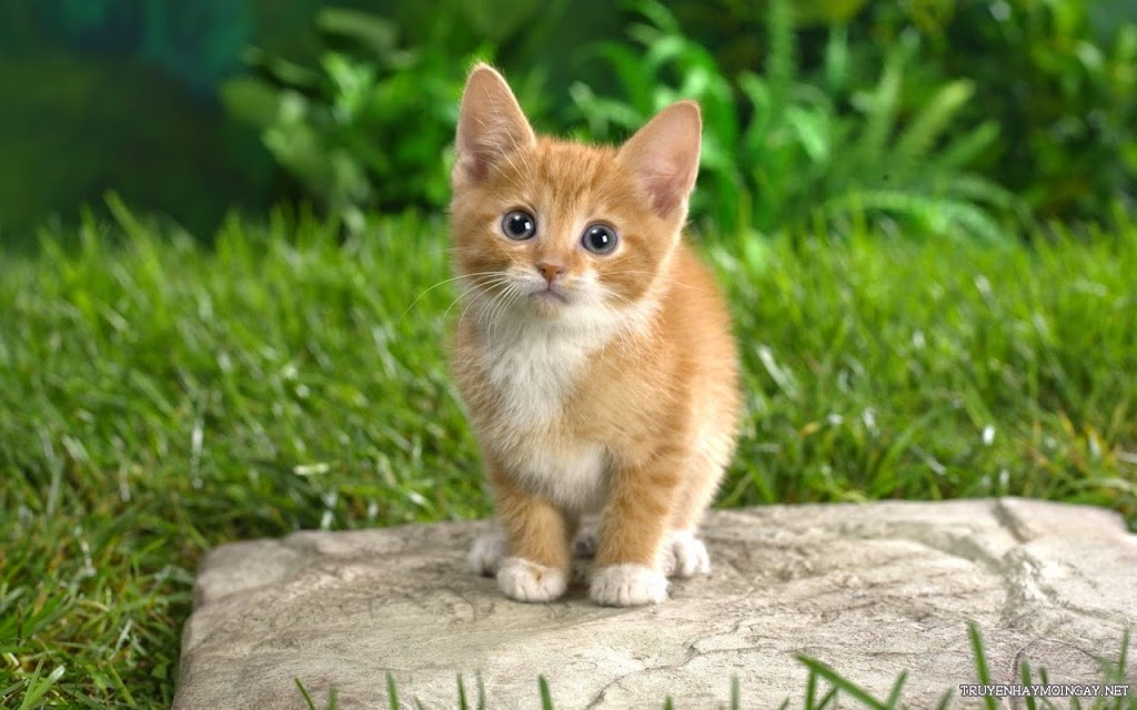 Tải Hình Nền Mèo Dễ Thương Cho Máy Tính