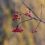 Highbush-Cranberry_MG_2336-copy.jpg