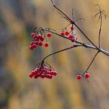Highbush-Cranberry_MG_2336-copy.jpg