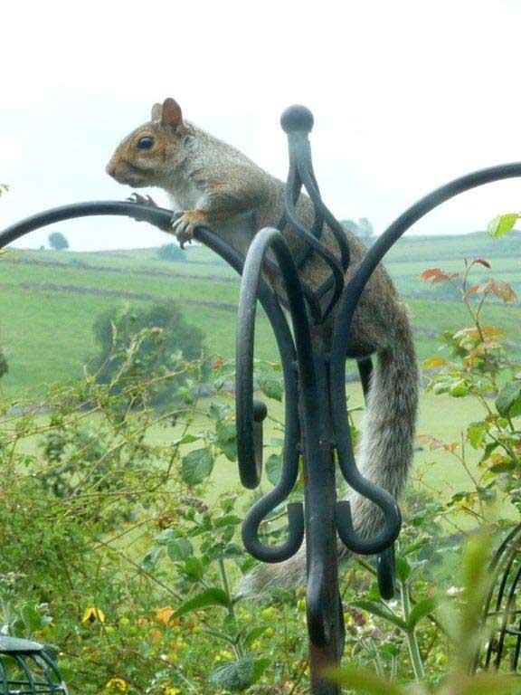 Grey Squirrel by Lorraine Hawkins