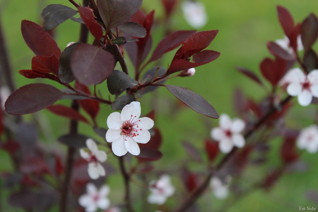 [Purple+Leaf+Sandcherry+in+bloom%5B8%5D]