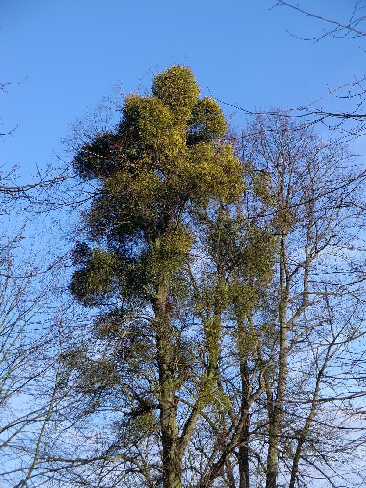 CIMG6794 Mistletoe, Bushy Park