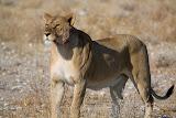 Lion - Etosha, Namibia