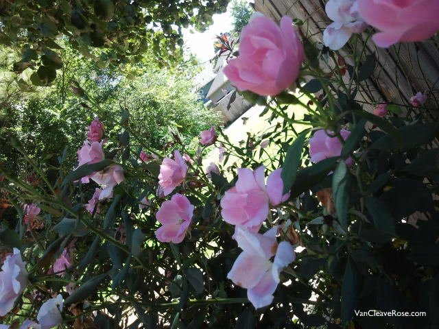 My Favorite Knock Out – 'Blushing Knock Out' Rose | The Redneck ...