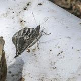 Corades medeba columbina Staudinger, 1894. La Minga, Choachi, 2330 m (Cundinamarca, Colombie), 11 novembre 2015. Photo : B. Lalanne-Cassou