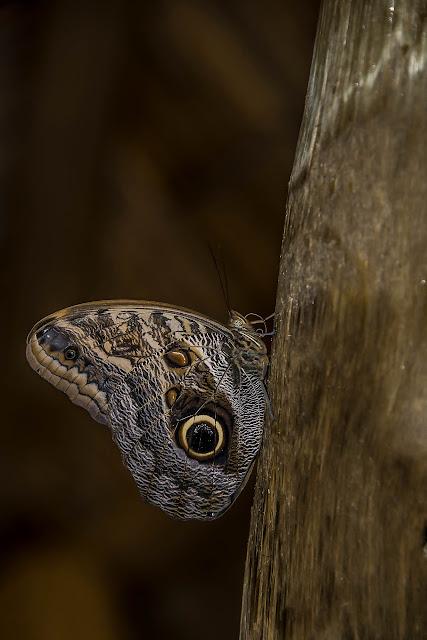 Caligo telamonius telamonius (C. Felder & R. Felder, 1862). Fundo Palmarito, 265 m (Casanare, Colombie), 7 novembre 2015. Photo : B. Lalanne-Cassou