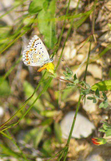Polyommatus (Lysandra) bellargus (Rottemburg, 1775). Brunet (Alpes-de-Haute-Provence), 12 juin 2008. Photo : J.-M. Gayman