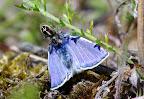 Treplettet springedderkop spiser almindelig blåfugl