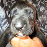 Available black male #1 @ 2 weeks