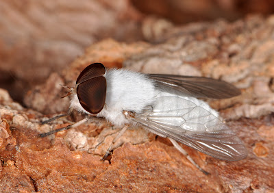 white horse fly