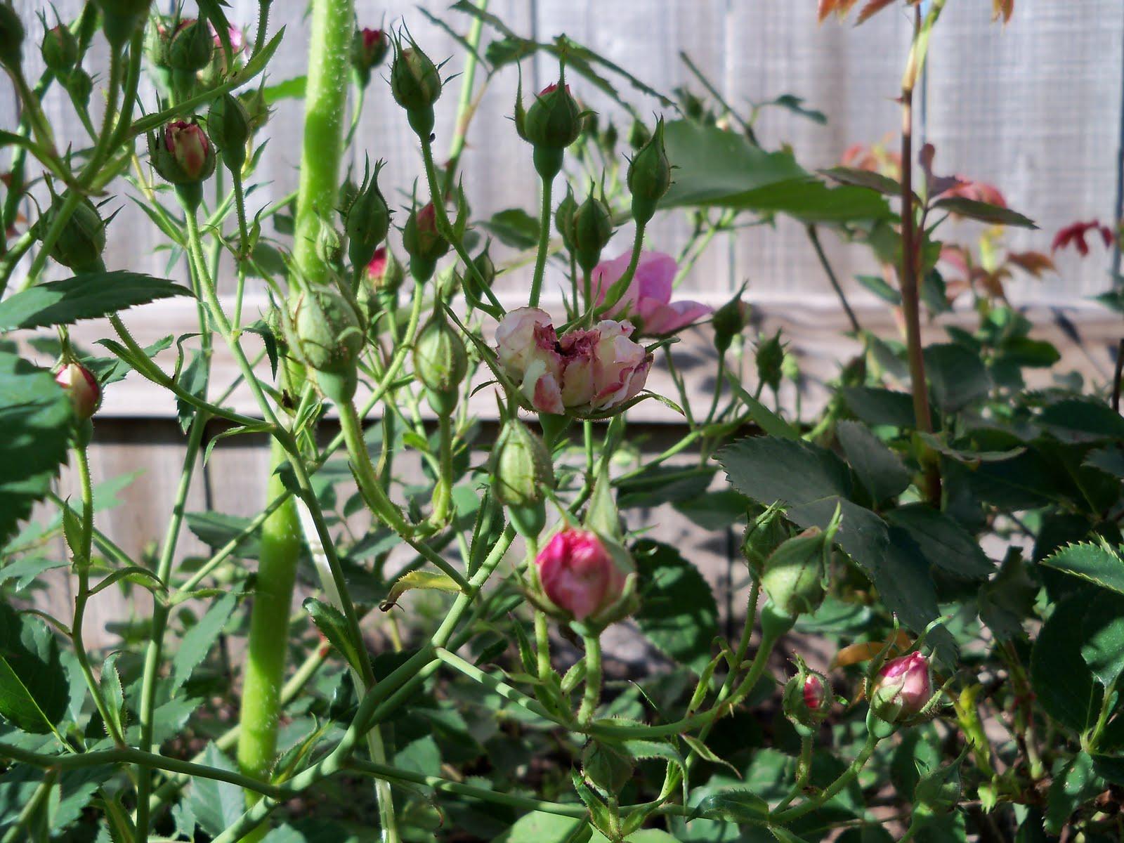 Gardening 2010 - 101_1394.JPG