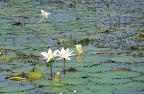 Valentine lilies