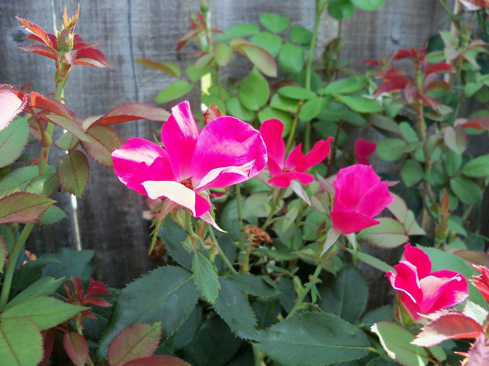 Gardening 2011 - 100_9999.JPG