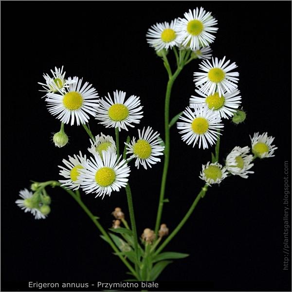 Erigeron annuus inflorescence - Przymiotno białe kwiatostan