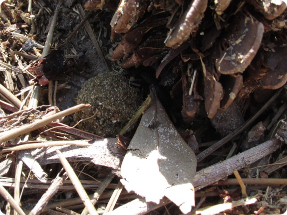 6 Dung Beetle (7)