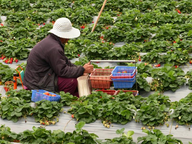 Miaoli county. Nanzhang puis Dahu la capitale de la fraise... - P1050283.JPG