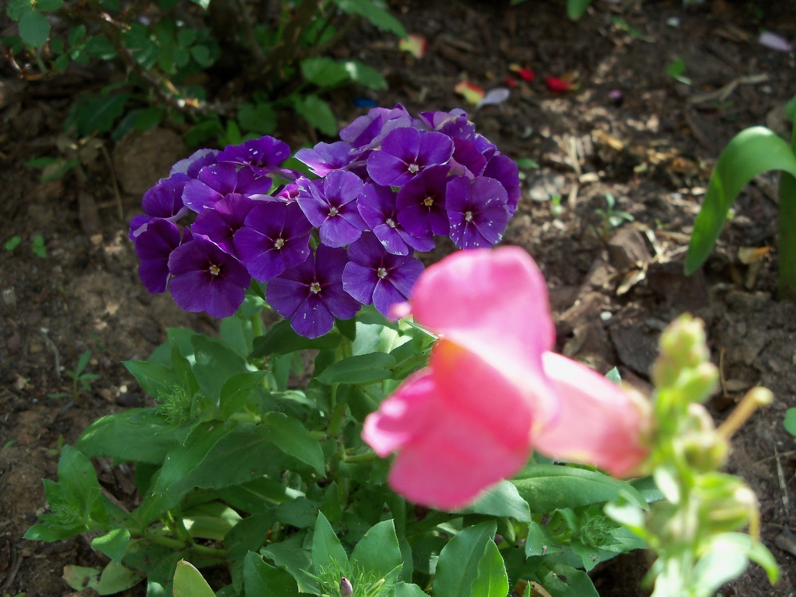 Gardening 2011 - 100_7062.JPG