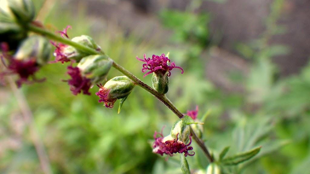 花色が綺麗なヨモギ