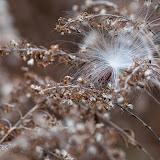 Milkweed-seed_MG_2576-copy.jpg